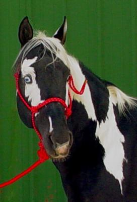 Tobiano Pattern - American Paint Horse Association - My APHA