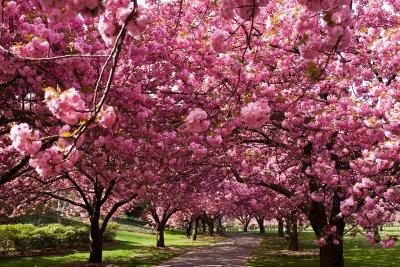 Sakura / 桜 est le mot japonais qui correspond aux cerisiers du japon